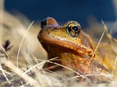 Cooley_Peninsula_Common_Frog.jpg