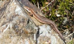 Cooley_Peninsula_Common_Lizard.jpg