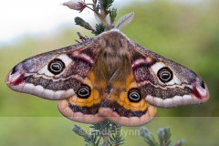 Cooley_Peninsula_Emperor_Moth.jpg