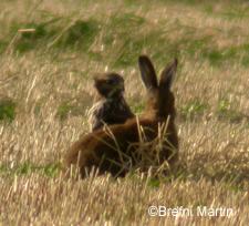 Buzzard and Hare